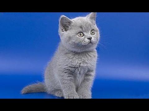 Британские котята коты и кошки голубые, лиловые