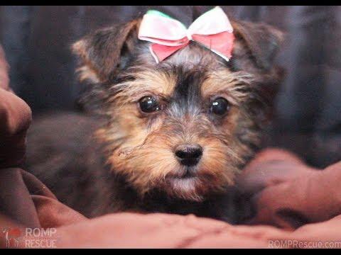 Oasis - Terrier Mix Puppy - Chicago - ROMP Italian Greyhound Rescue