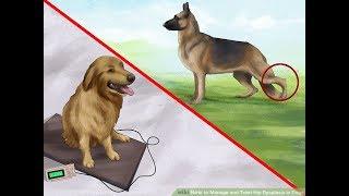 Дисплазия у собак.
