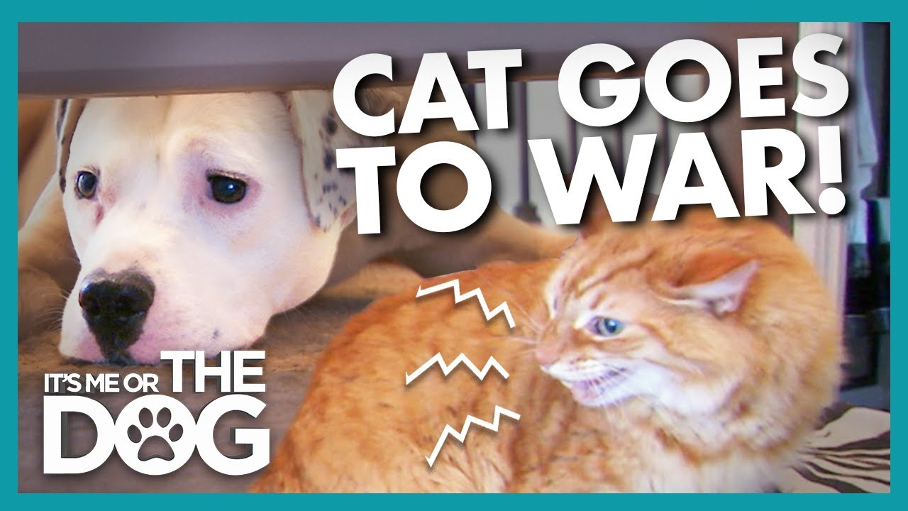 Download Endless Slap Fights with Dog have Caused this Cat to Flee the Bedroom | It's Me or the Dog