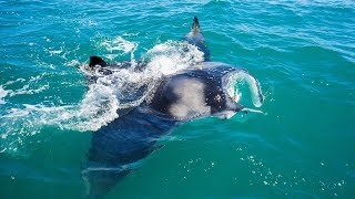 Cocoa Beach Florida Cobia Fishing Under Giant Manta Rays