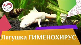 Лягушка Гименохирус африканская пресноводная лягушка на ilikepet