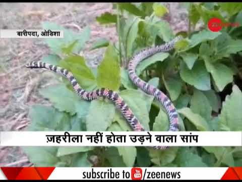 Rare flying snake rescued from Mayurbhanj in Odisha