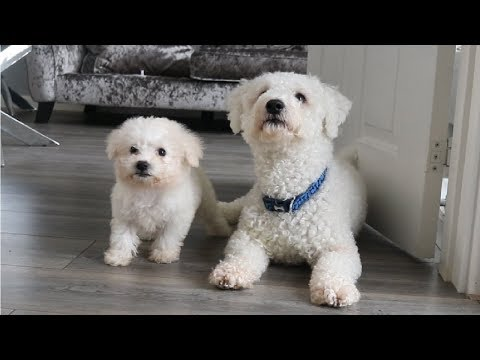 Bichon Frise Puppy & Adult - Video 1 | Rebecca Shuttleworth