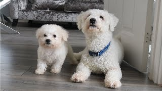 Bichon Frise Puppy & Adult  Video 1 | Rebecca Shuttleworth