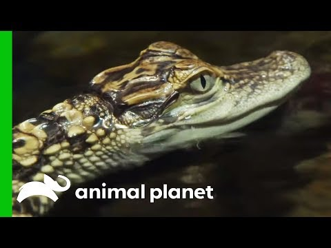 Baby Gators Train To Become Community Outreach Animals | The Aquarium