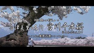 福島の桜より ~会津美里の桜の名所 宮川千本桜~