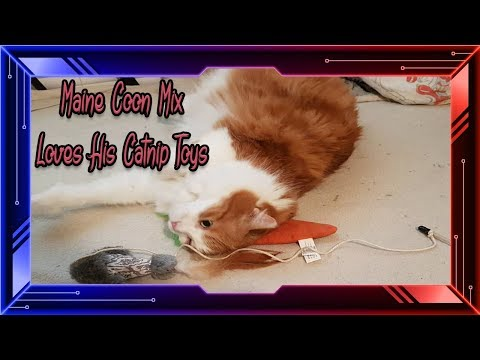 Maine Coon Mix Angel  Loves All His Cat Nip Toys !