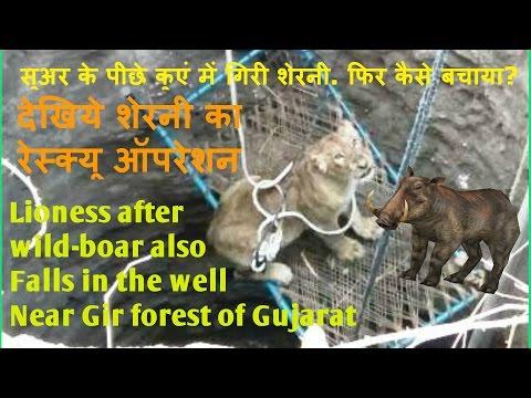 सुअर के पीछे कुएं में गिरी शेरनी. कैसे बचाया? Lioness after wild-boar Falls in well. How did save?