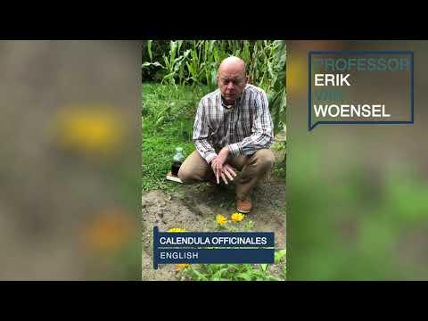 Calendula Officinalis (English)