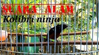 Suara alam Kolibri ninja