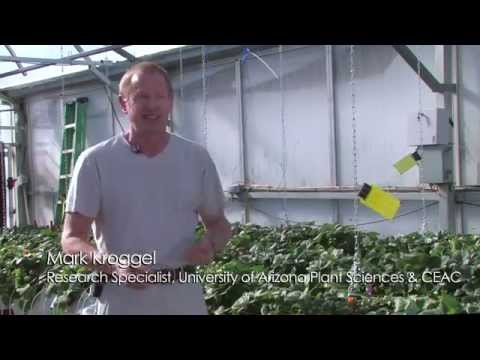Strawberry Sunrise in Arizona -- Kubota Labs, Hydroponic Research at U of Arizona CEAC