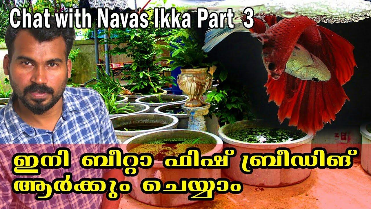 ബീറ്റാ ഫിഷ് ബ്രീഡിങ് ഇത്ര ഈസിയോ!!! betta bulk breeding guide | niya bettas | Indian fish lover