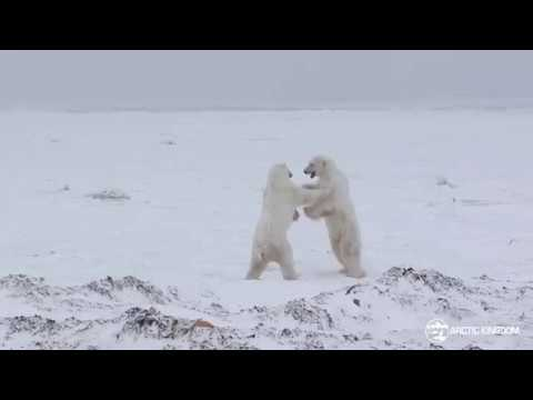 Polar Bears Sparring | Arctic Kingdom