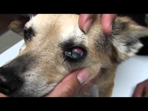Glaucoma In Dog