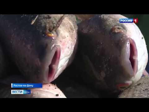 Массовая гибель рыбы на берегу Дона: браконьеры или слив химикатов?