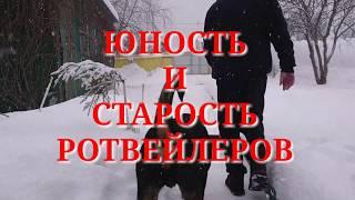 МОЛОДОСТЬ И СТАРОСТЪ РОТВЕЙЛЕРОВ