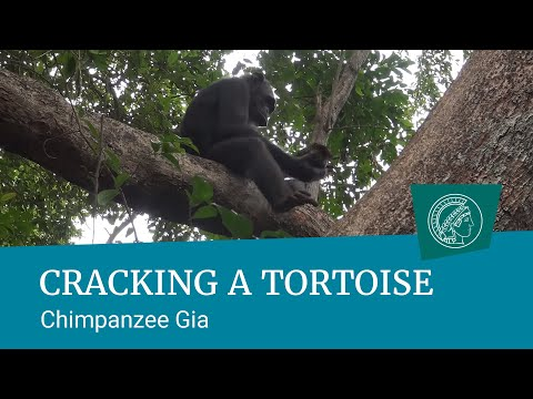 For The First Time, Chimpanzees Have Been Spotted Smashing Open And Eating Tortoises