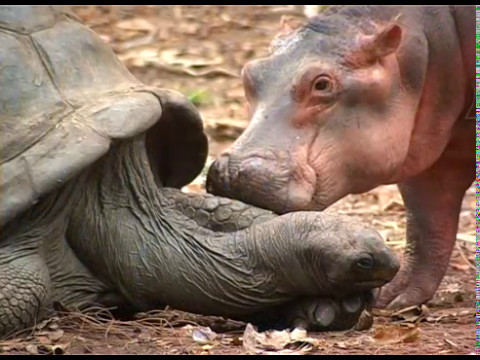 """Image result for The Tortoise And The Hippopotamus youtube"""""""