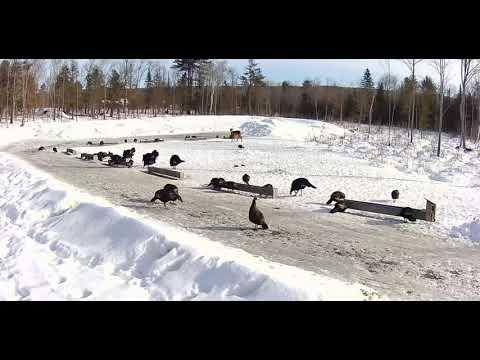 2019/02/12 - 335 Deer & Turkeys of the Brownville's Food ...