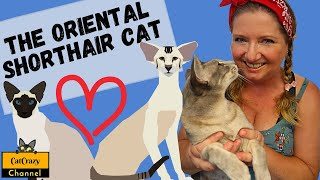 CatCrazy: What is the Oriental Shorthair Cat all about?
