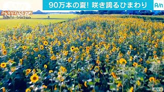 太陽に向かいまっすぐに・・・咲き誇るヒマワリ90万本!(17/07/14) thumbnail