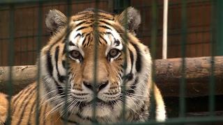 Jakie koty żyją w gdańskim zoo? Sprawdziliśmy to w Międzynarodowym Dniu Kota