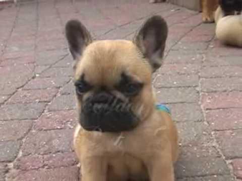 French bulldog puppies Goelleke part 3 from \