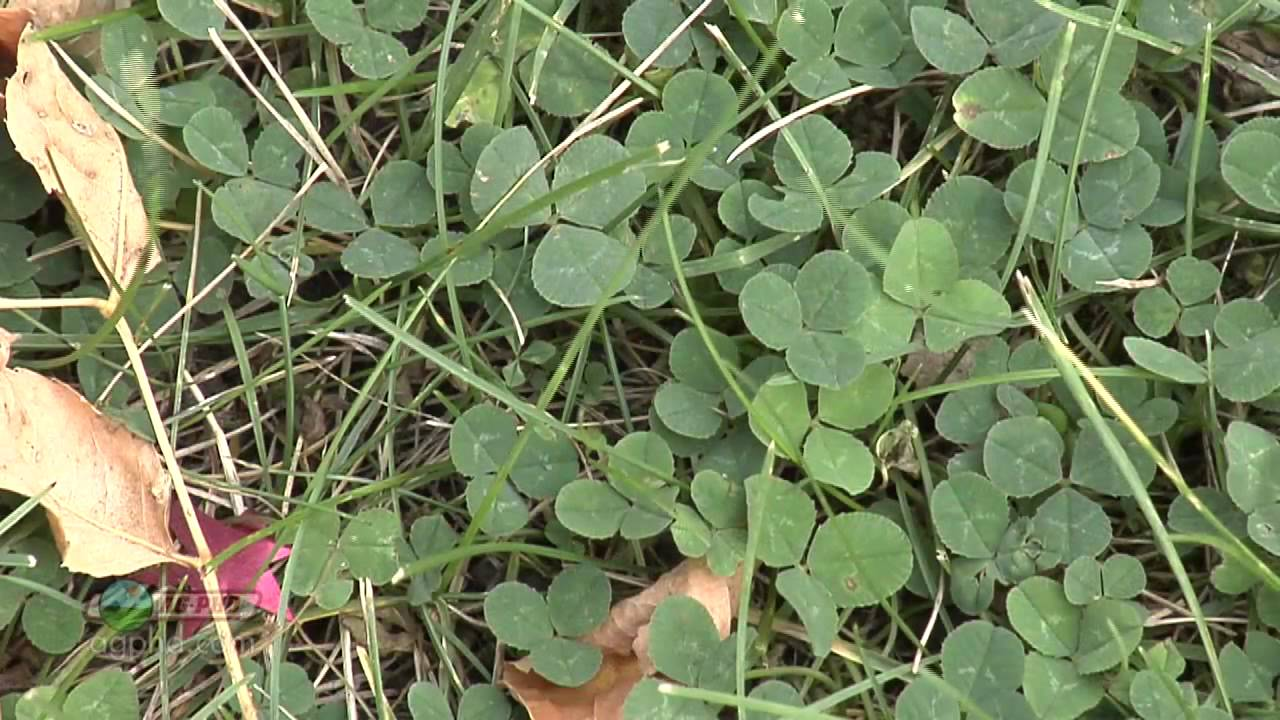 Weed Of The Week 789 White Clover Air Date 51913 Youtube