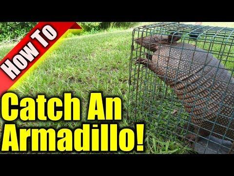 Armadillo Trap: How To Get Rid Of Armadillos