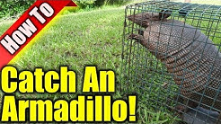 Armadillo Trap: How To Get Rid Of Armadillos
