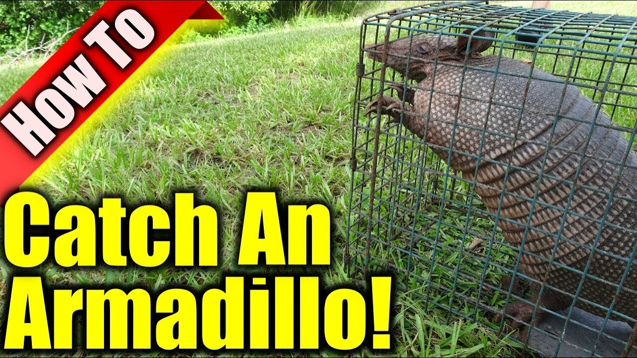 Forum on this topic: How to Get Rid of Armadillos, how-to-get-rid-of-armadillos/
