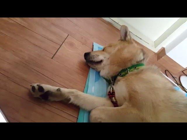 ??? ??? ?? ???? ?? 1-??? Tiger Sound Dog Reaction 1-Bolt.