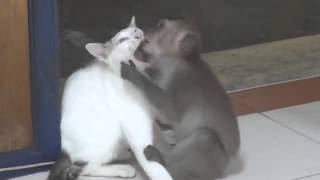 Милое видео   обезьяна целует кошку