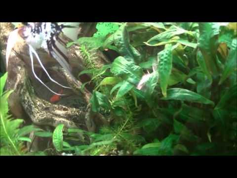 Микроводоросли в аквариуме  Способ борьбы с ними