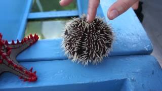 Sea urchin moving its spikes