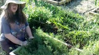 Growing and Using Dill Weed Sheri Ann Richerson ExperimentalHomesteader.com