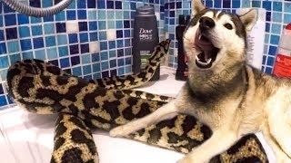 Хаски наблюдает за змеёй в ванной / собаки и змеи в квартире