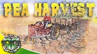 Harvesting Peas : Farmer