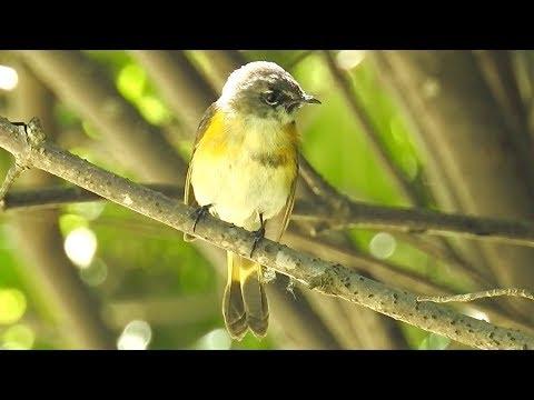 Paruline Flamboyante chant /American Redstart song