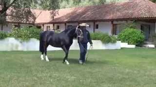 Repeat youtube video Guindalero, una joya de caballo chileno.