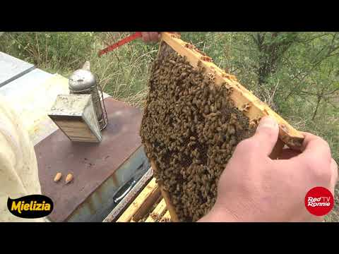Le api, entriamo nel loro incredibile mondo grazie a Mielizia e Conapi