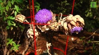 Way To Grow: Harvesting Artichokes Before Flowering - Garden Tip of the Day!