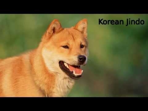 Korean Jindo - primitive dog breed