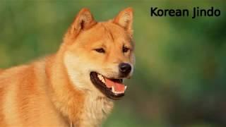 Korean Jindo - primitive dog breed