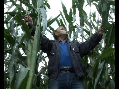 На востоке Калининградской области выросла кукуруза – «великан»