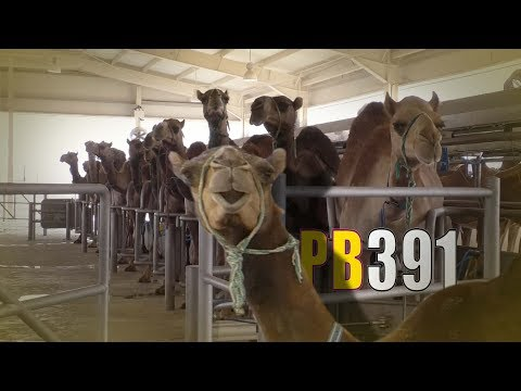 L'incroyable ferme aux 5000 chameaux ! PowerBoost N°391 (26/05/2017)