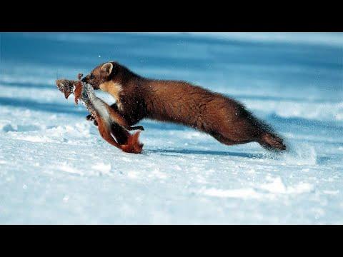Пушистая хитрюга КУНИЦА В ДЕЛЕ! Куница против мышей, белок, зайцев, кошек, собак, и даже обезьяны!