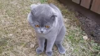 Шотландский кот разговаривает с хозяйкой. Кот-человек