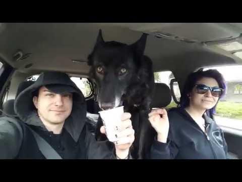 Wolfdog Eating Starbucks Puppuccino Wolficcino!